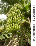 banana tree | Shutterstock . vector #521088664