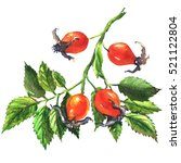 Dog Rose  Rosehip Branch With...