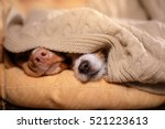 Stock photo dog jack russell terrier and dog nova scotia duck tolling retriever dog s nose under the blanket 521223613