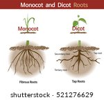 a picture comparing monocot and ... | Shutterstock .eps vector #521276629