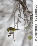 Small photo of Siskin feeds alder cones
