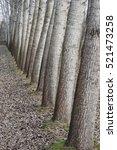 Poplar  Tree Trunks In Line ...