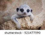 Baby Suricate Or Meerkat ...