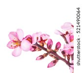 spring flowering branches  pink ... | Shutterstock . vector #521490064
