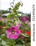 Small photo of pink hollyhock(Alcea rosea) are blooming.