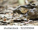 Small photo of Southern bird of Thailand, Abbott's Babbler in the nature.