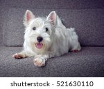Stock photo white puppy westie sitting on a grey couch 521630110