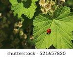 Ladybird On Green Leaf Of...
