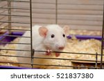 cute curious white rat looking... | Shutterstock . vector #521837380
