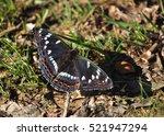 Small photo of poplar admiral (Limenitis populi)