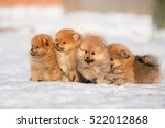 Group Of Pomeranian Puppy...