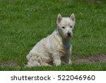 Little White Terrier On The...