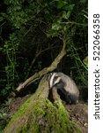badger  meles meles  foraging... | Shutterstock . vector #522066358