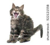 Stock photo maine coon kitten in front of white background 522121558
