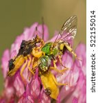 Small photo of Jagged Ambush Bugs (Phymata erosa) male and female eating a Virescent Green Metallic Bee (Agapostemon virescents