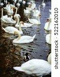 Mute Swans And Ducks Waterfowl...