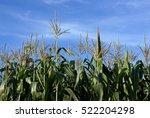 corn on the field under blue sky | Shutterstock . vector #522204298