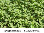 Small photo of Weed and medicinal plant Amaranthus retroflexus (red-root amaranth, redroot pigweed), texture as background