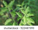close up sweet basil  basil ... | Shutterstock . vector #522487390
