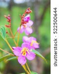 Small photo of Indian Rhododendron (Osbeckia stellata Ham. )
