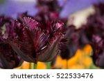 Beautiful Burgundy Tulip  Tulip ...