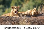 Lion Cubs Sitting On A Rock In...