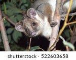 Australian Ring Tail Possum In...