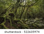 big mossy tree  shiratani... | Shutterstock . vector #522635974