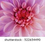 iridescent pink dahlia flower... | Shutterstock . vector #522654490