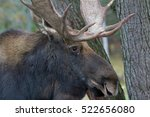 Small photo of Bull moose (Alces alces) closeup in the forest