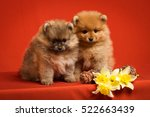 Stock photo puppies pomeranian with flowers 522663439