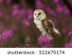 Beautiful Barn Owl In Pink...
