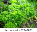 curly parsley on the ground... | Shutterstock . vector #52267831