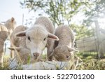 baby sheep eating food from a... | Shutterstock . vector #522701200