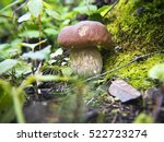 Small photo of Mushrooms porcini in forest. Glade porcini