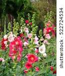 Small photo of Red and pink Hollyhocks in a park. Alcea rosea flower.