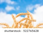 Gold Ears Of Wheat Against The...