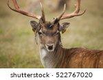 Fallow Deer In The Phoenix Par...