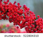 Pyracantha Berries On A...