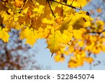 Golden Maple Tree Branches On...