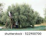 olive trees  | Shutterstock . vector #522900700