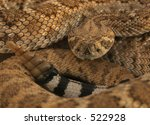 Small photo of Diamondback coiled showing head tail and rattle
