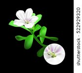 bacopa monnieri plant on black... | Shutterstock .eps vector #522929320