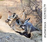 eared fox | Shutterstock . vector #522932179