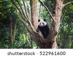 giant panda sitting in a tree... | Shutterstock . vector #522961600