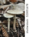 Small photo of Delicious edible mushroom - the blusher (Amanita rubescens)