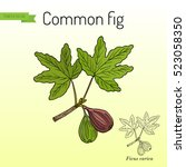 common fig  ficus carica . hand ... | Shutterstock .eps vector #523058350