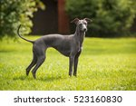 Italian Greyhound Nature