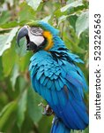 Blue And Gold Macaw Squawking...