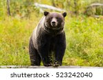 wild eastern slopes grizzly... | Shutterstock . vector #523242040